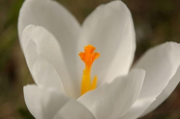 Hvit krokus i Frognerparken
