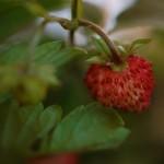 DSC_2619_Jordbær