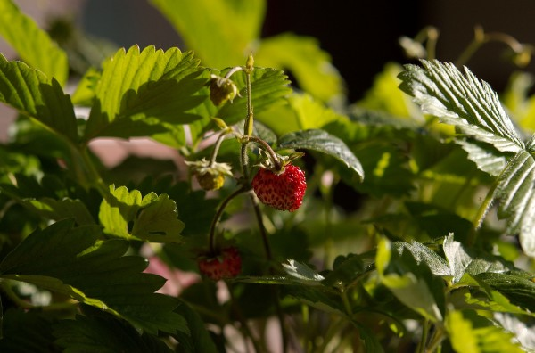 Jordbærplante fra Anne på Moseplassen