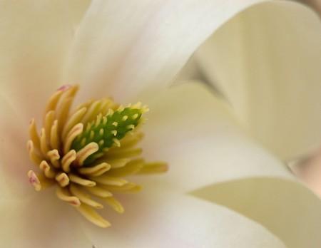 Magnolia - EXIF-data: Nikon D40, f/11.0, Brennvidde: 60 mm, ISO: 200, Lukker: 1/125