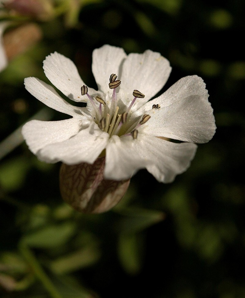 Hvit strandblomst - Exif-data: Nikon D40,  Blender: f/9.0, Brennvidde: 60 mm, ISO: 200, Lukker: 1/2400 sec