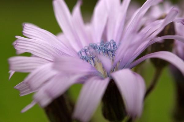 Lilla blomst